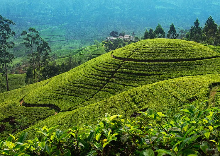 cycling-adventure-holiday-srilanka-tea-plantations