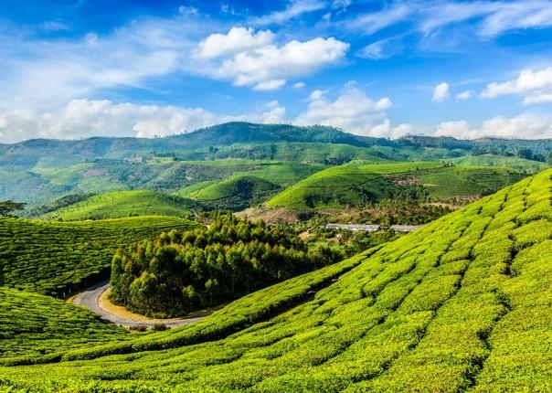 tea.jpg - India - Classic Kerala - Cycling Adventures