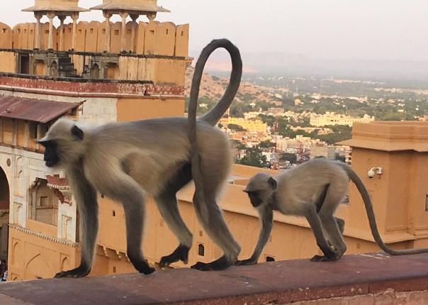 monkeys-group-cycling-holiday-rajasthan.jpg - India - Palaces and Lakes of Rajasthan - Cycling Adventures