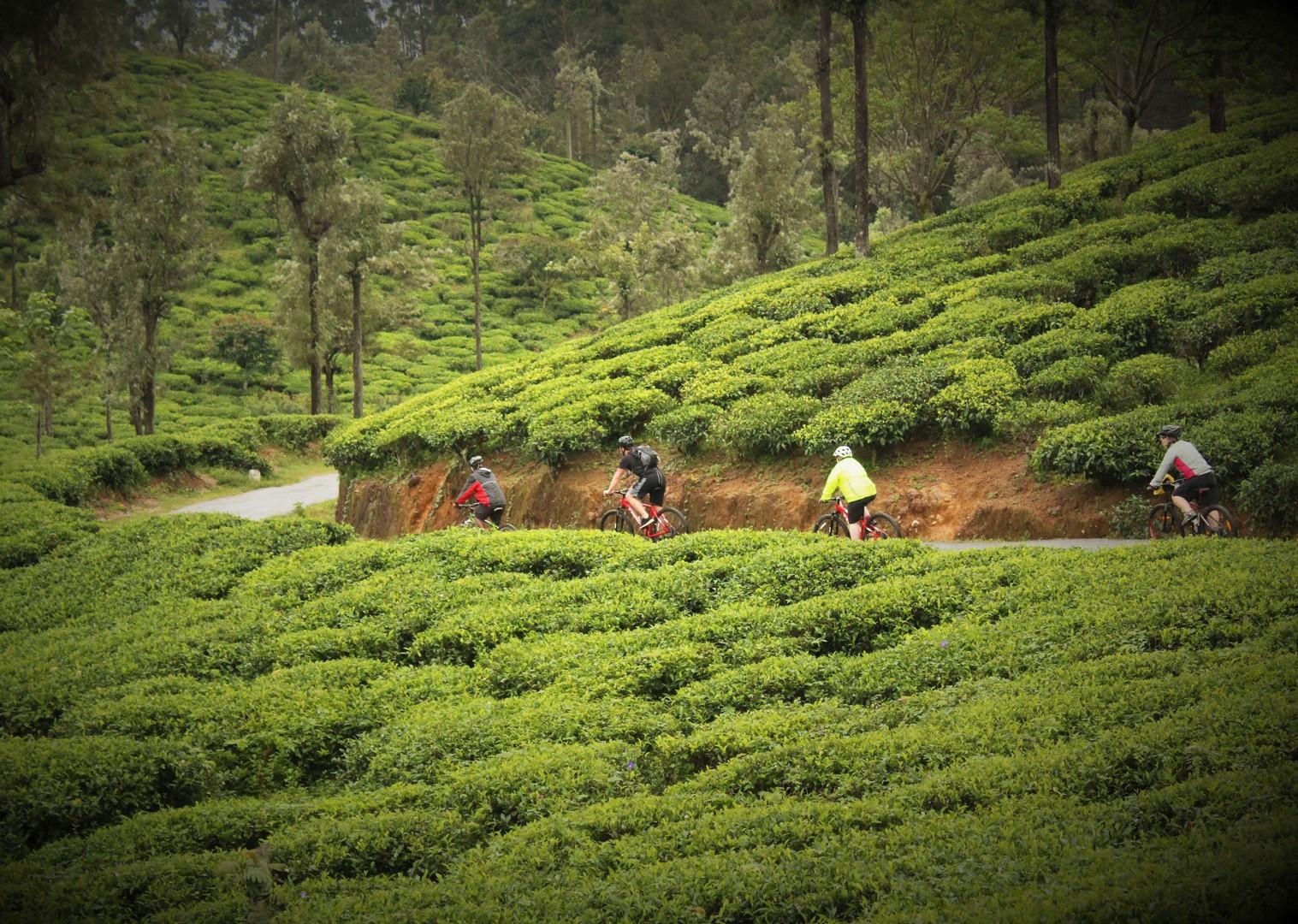 guided-cycling-holiday-in-sri-lanka-tea-plantations.jpg - Sri Lanka - Backroads and Beaches - Cycling Adventures