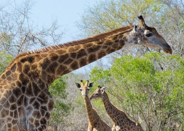 rhino-giraffe-lions-wildebeest-africa-swaziland-cycling-holiday.jpg - Swaziland (Eswatini) - Cycling Safari - Cycling Adventures