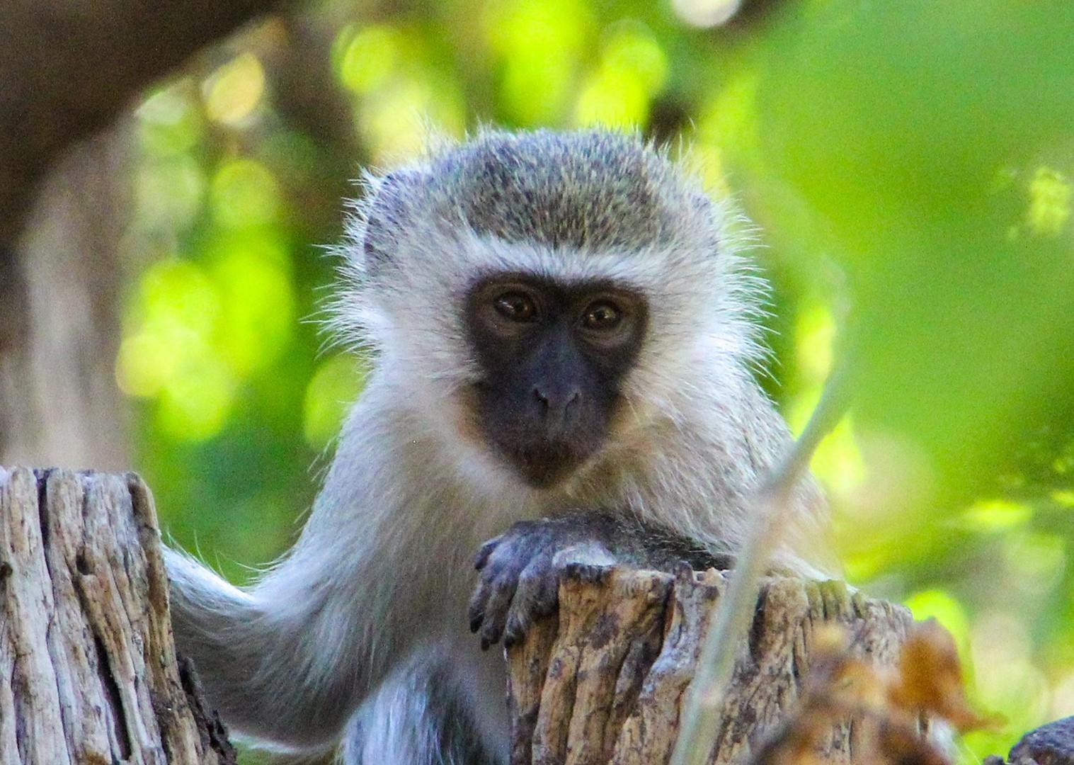 monkeys-saddle-skedaddle-mountain-bike-holiday-south-africa-animals.jpg - NEW! South Africa and Botswana - Mountain Biking