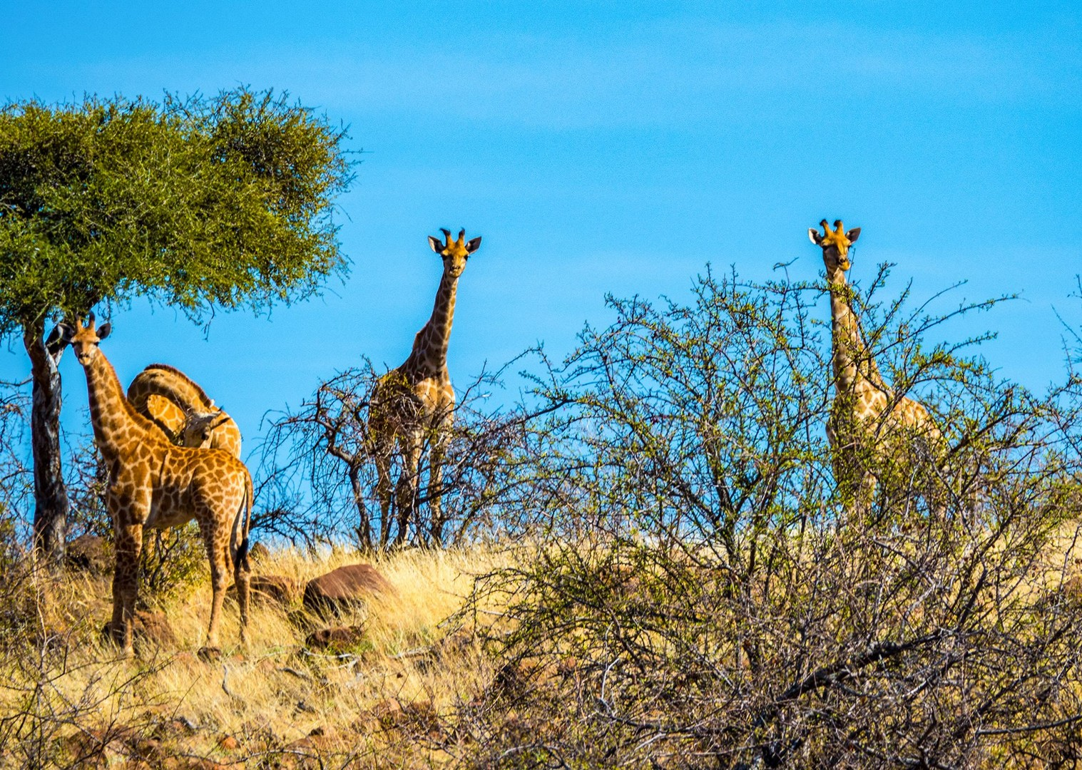 south-africa-mtb-botswana-giraffes-biking-holiday-land-of-the-giants-trip.jpg - NEW! South Africa and Botswana - Mountain Biking
