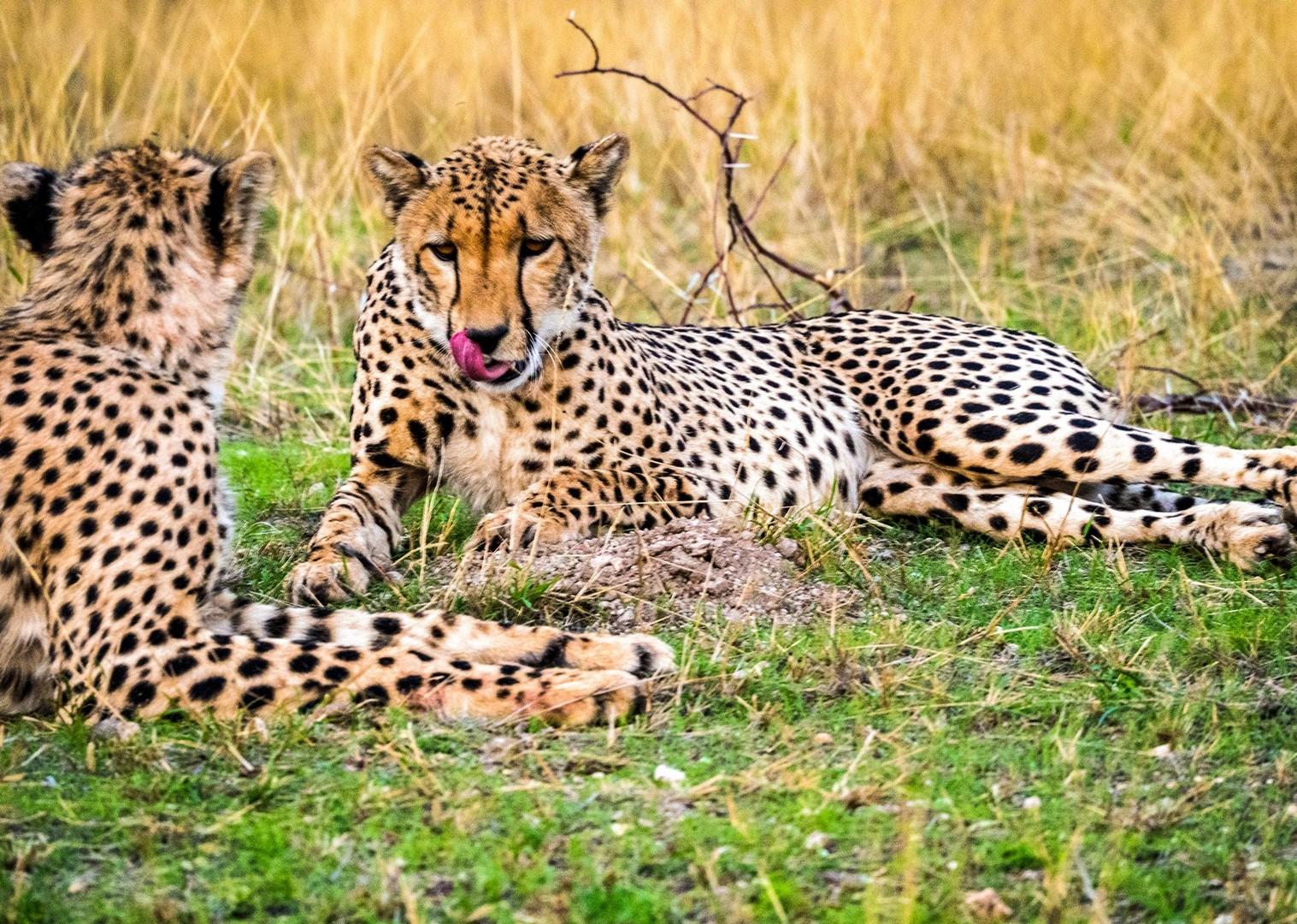 cheetah-mountain-biking-mtb-holiday-south-africa-animals.jpg - NEW! South Africa and Botswana - Mountain Biking