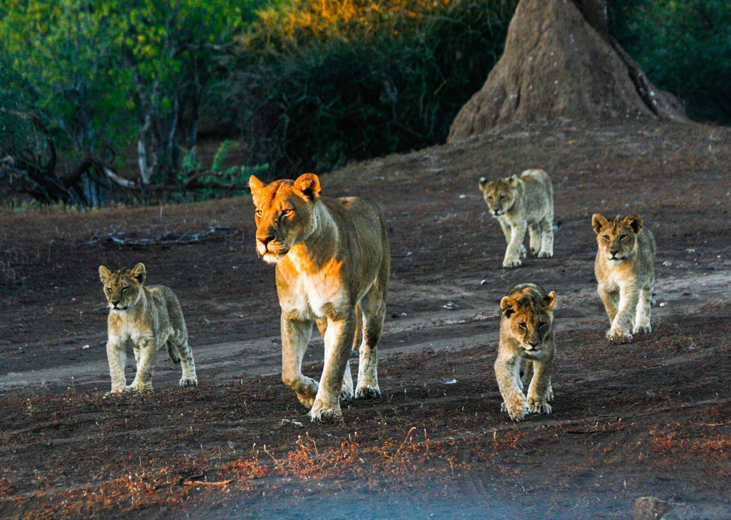 lions-in-south-africa-and-botswana-saddle-skedaddle-mountain-bike-holiday.jpg - NEW! South Africa and Botswana - Mountain Biking
