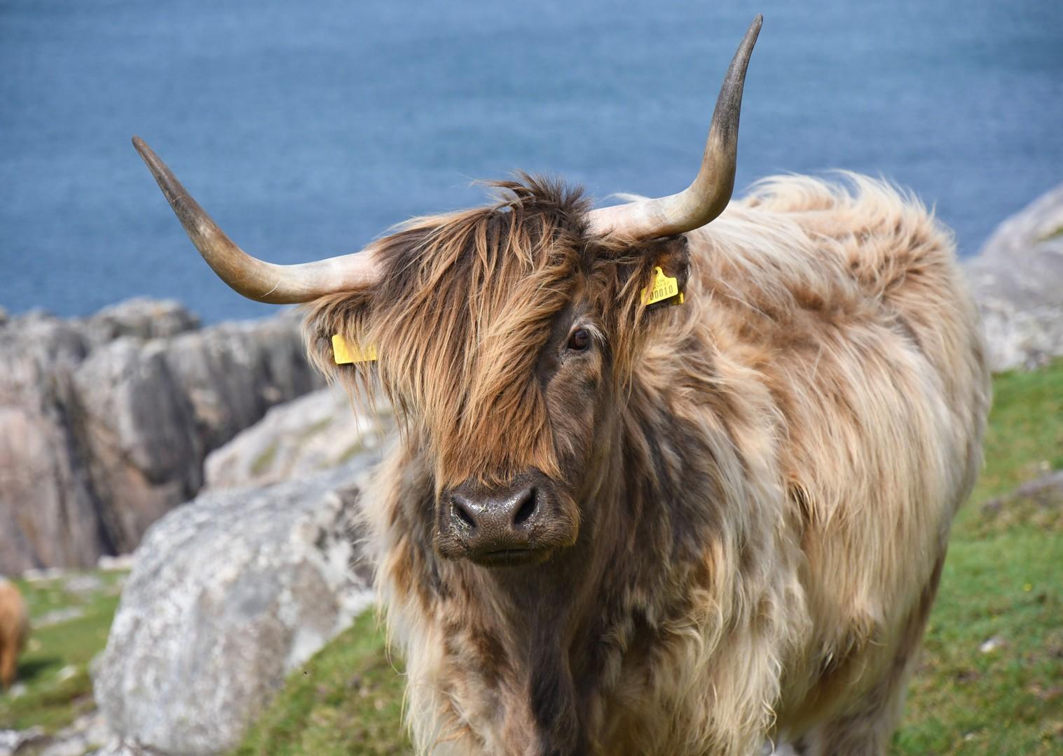 scottish-cattle-wildlife-cycling-holiday-in-outer-hebrides-scotland.jpg - Scotland - Hebridean Explorer - Guided Mountain Bike Holiday - Mountain Biking
