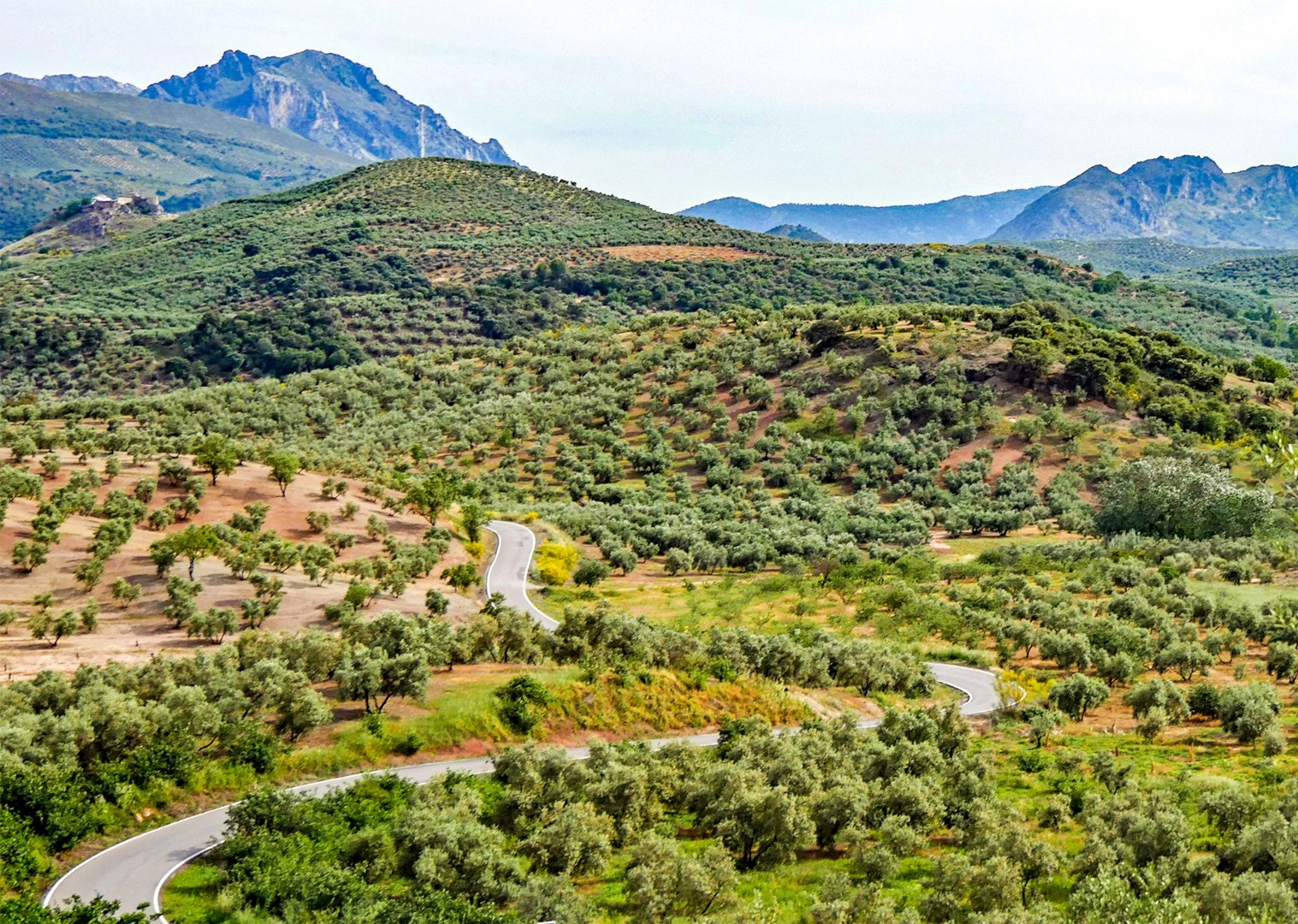 spain-saddle-skedaddle-cycling-holidays-road-winding-through-the-olives.jpg - Spain - Basque Country to Andalucia - North to South (21 Days) - Guided Road Cycling Holiday - Road Cycling