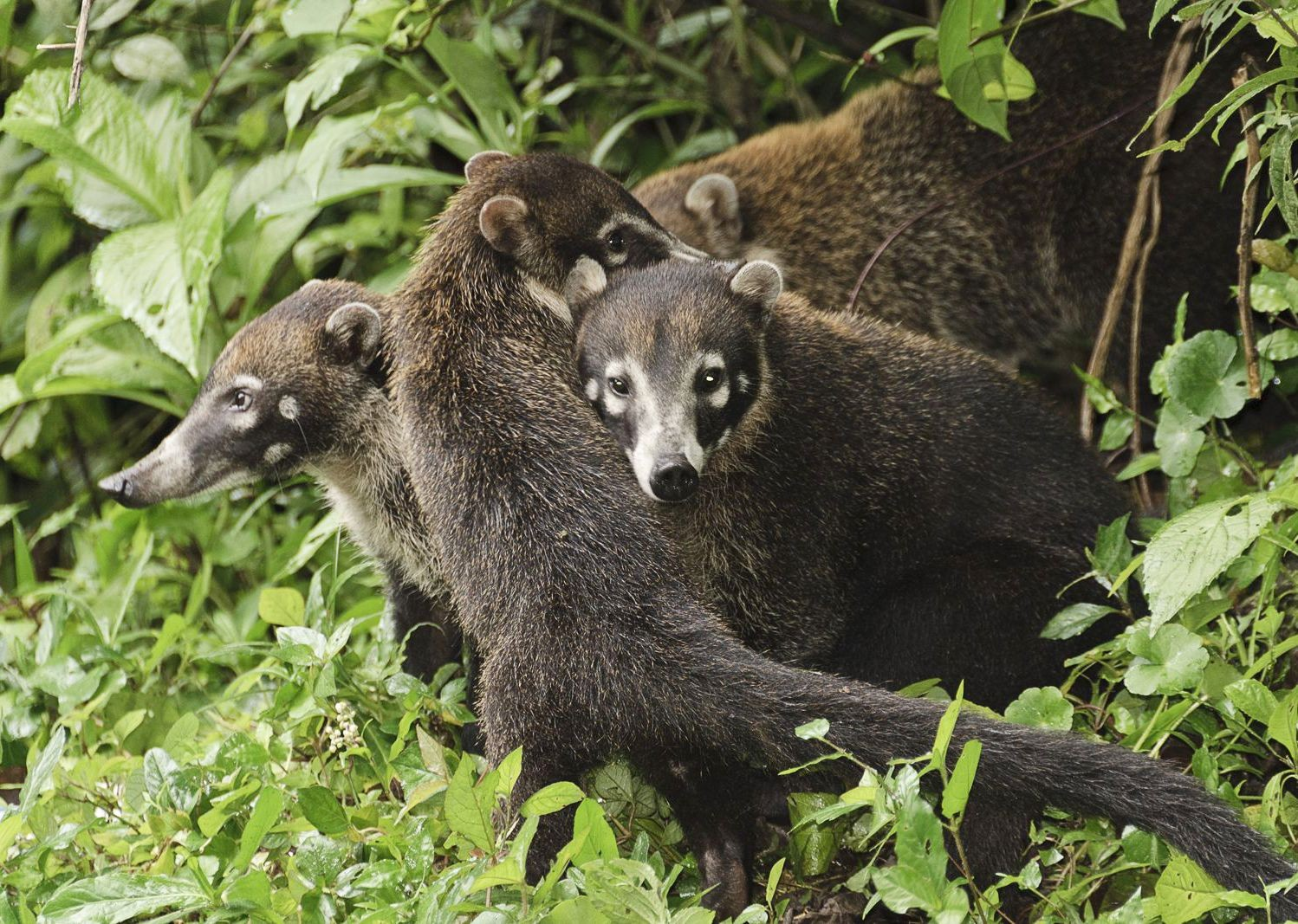 coati-wildlife-costa-rica-family-holiday.jpg - Costa Rica - Volcanoes and Valleys - Guided Family Cycling Holiday - Family Cycling