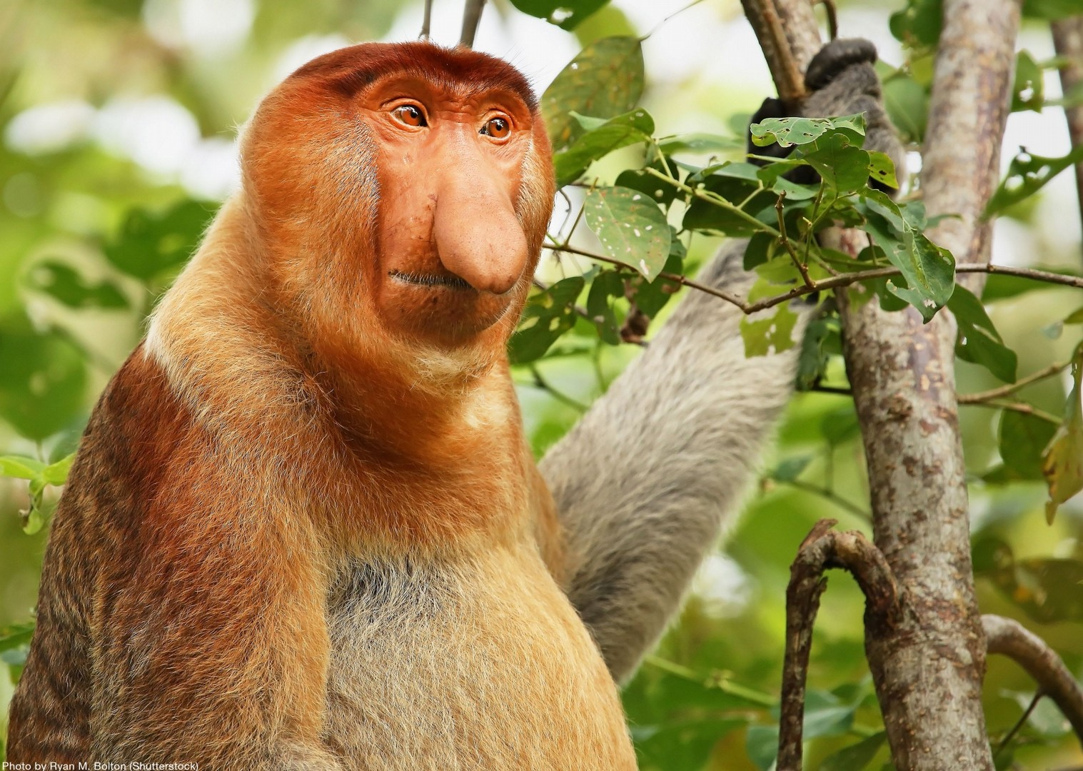 proboscis-monkey-borneo-holiday-family-cycling.jpg - Borneo - Sarawak Jungle Adventures - Family Cycling