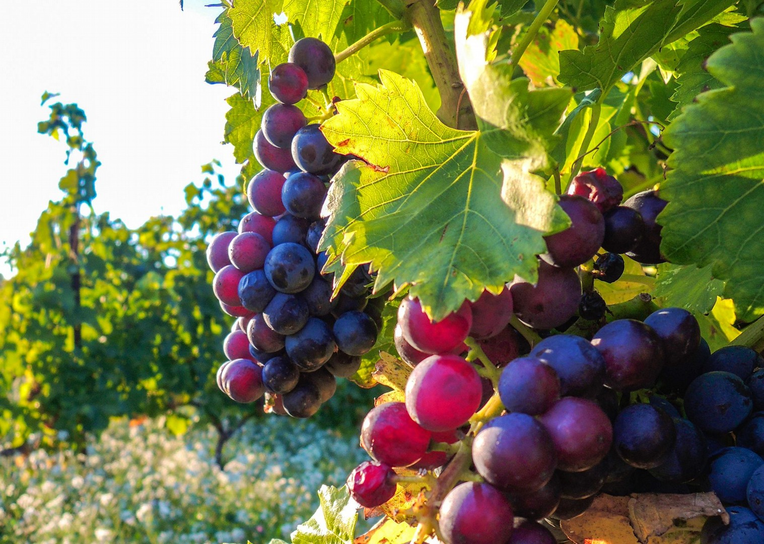 grapes.jpg - Chile - Wine Country - Cycling Adventures