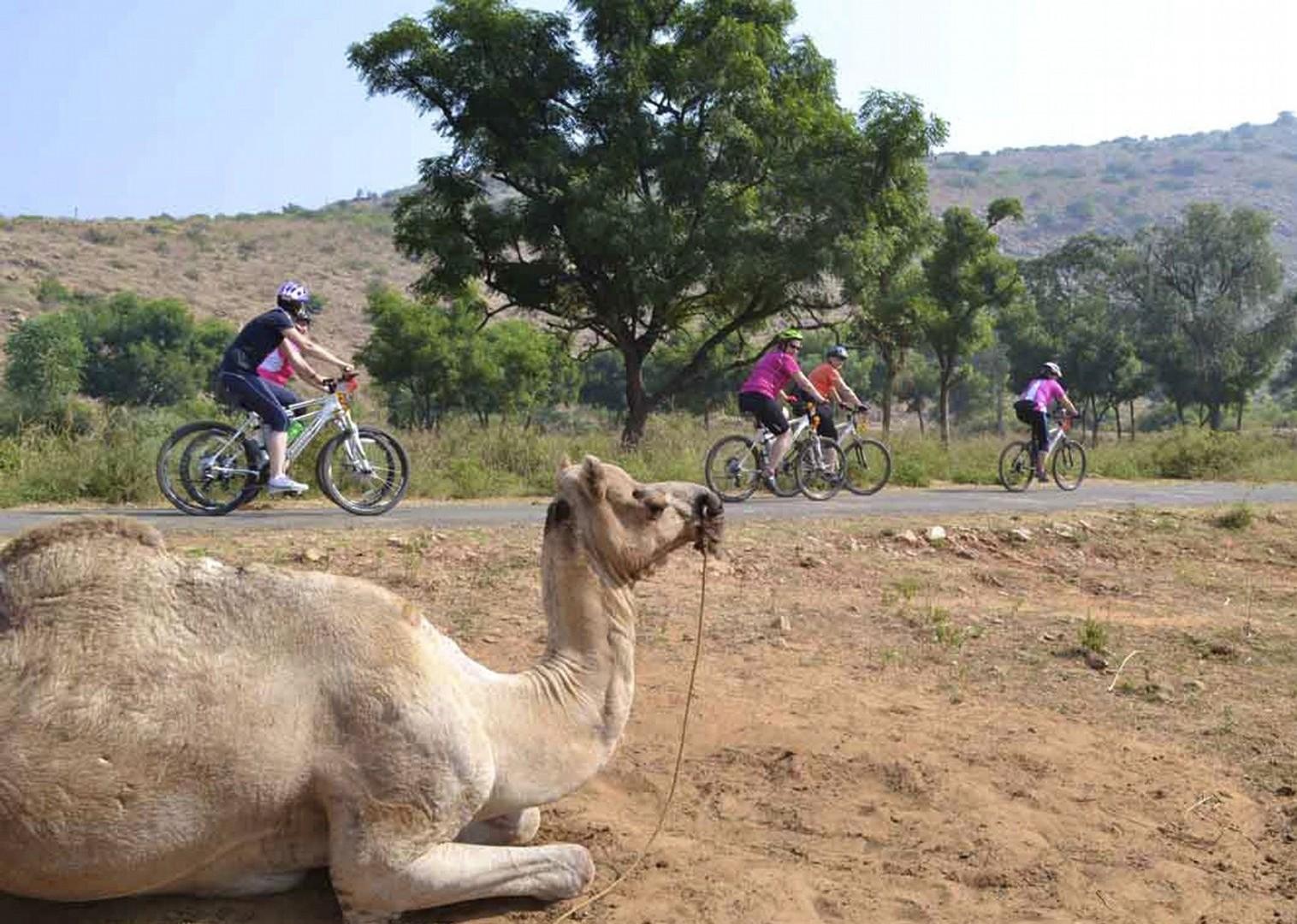 cycling-adventure-holiday-rajasthan-camel.jpg - India - Palaces and Lakes of Rajasthan - Cycling Adventures