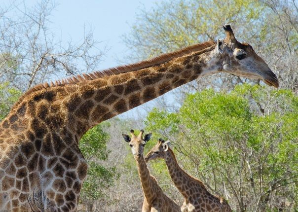 rhino-giraffe-lions-wildebeest-africa-swaziland-cycling-holiday.jpg - Eswatini (Swaziland) - Cycling Safari - Cycling Adventures
