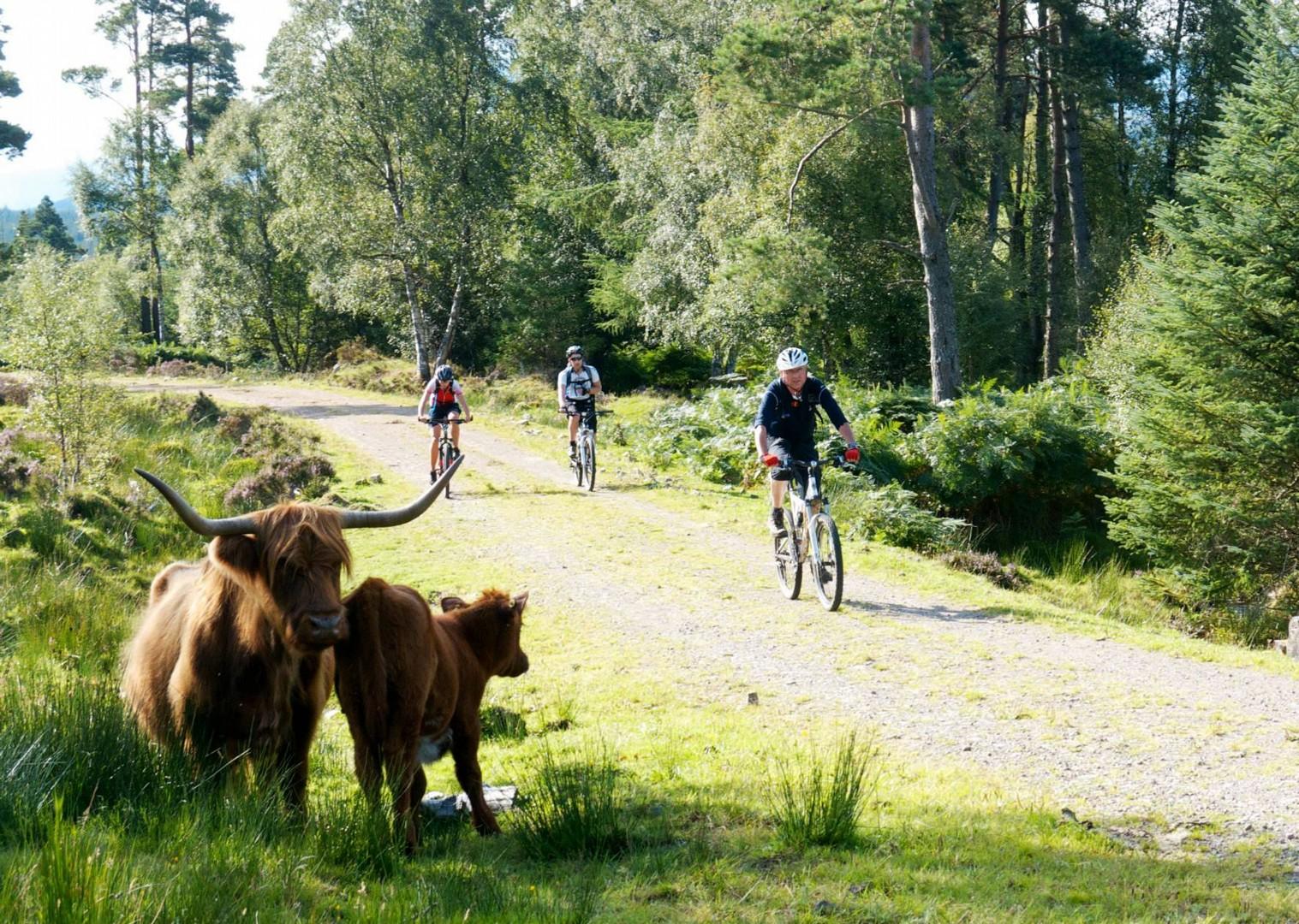 highland-cows-scottish-cycling-holiday.jpg - Scotland - Celtic Crossing - Guided Mountain Bike Holiday - Mountain Biking