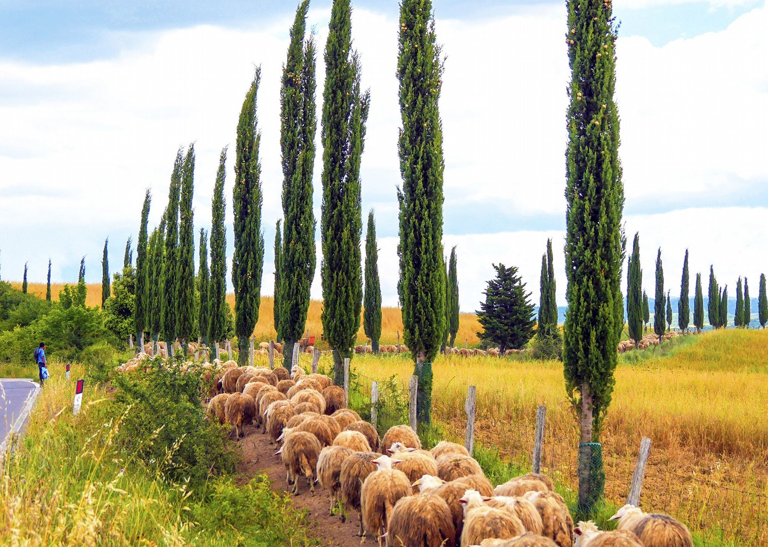 farms-and-cypress-trees-regional-life-culture-cycling-holiday-saddle-skeaddle.jpg - Italy - Classic Tuscany - Self-Guided Leisure Cycling Holiday - Leisure Cycling