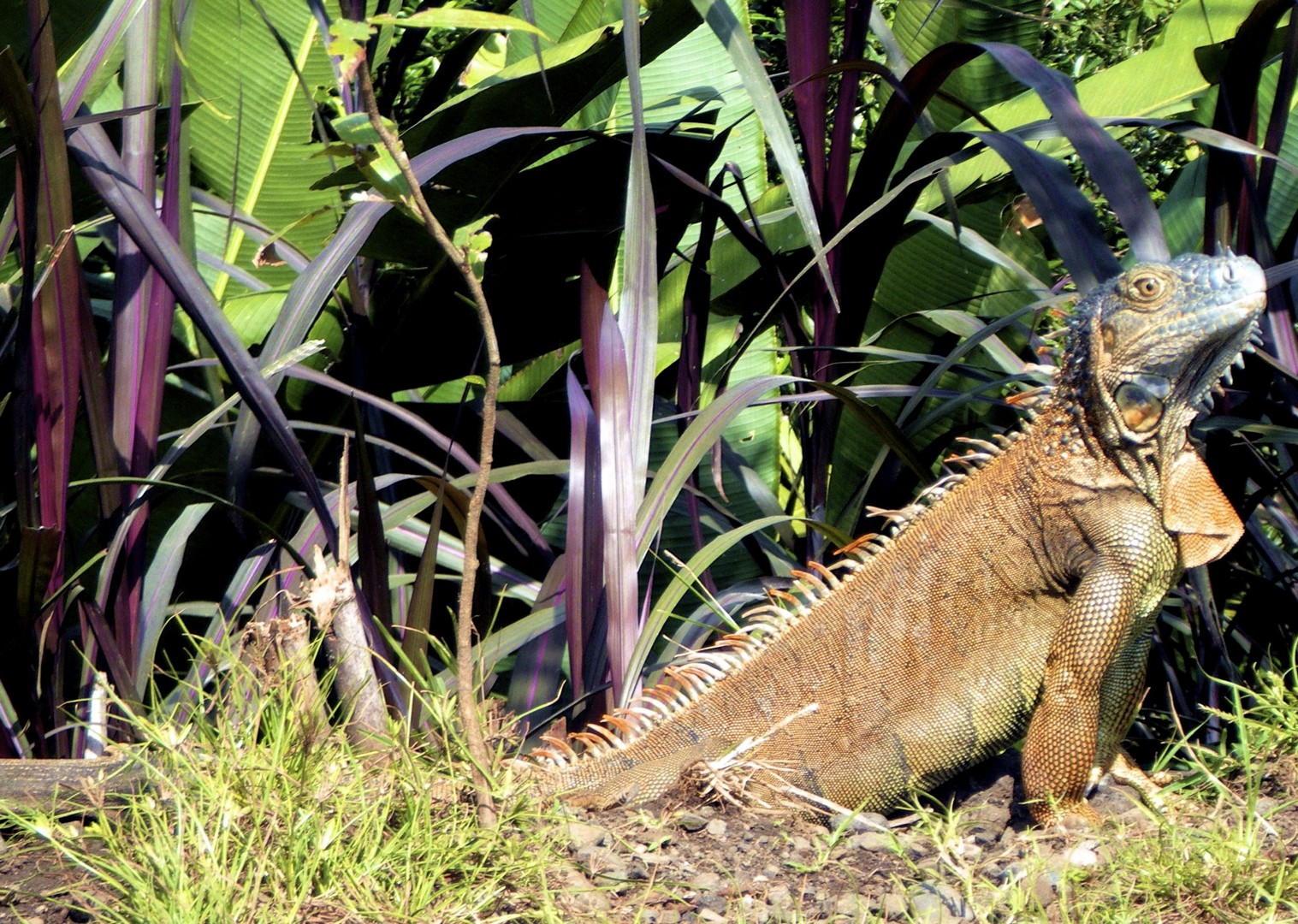 iguana-wildlife-costa-rica-guided-family-cycling-holiday.jpg - Costa Rica - Volcanoes and Valleys - Guided Family Cycling Holiday - Family Cycling