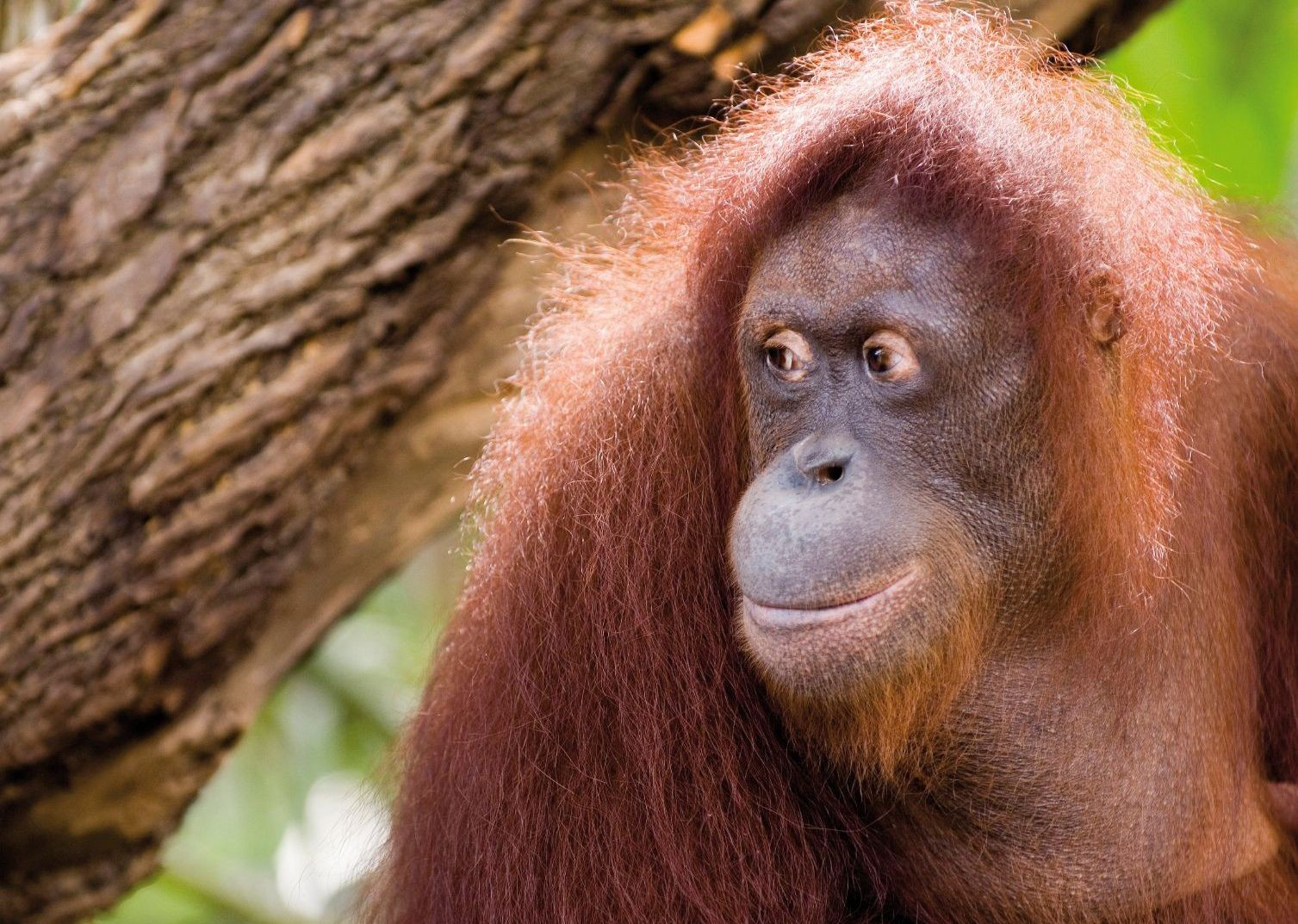 orangutan-in-borneo-semenggoh-skedaddle-holiday-family.jpg - NEW! Borneo - Sarawak Jungle Adventures - Family Cycling